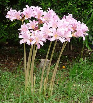Lycoris squamigera - Flowers emerged, leaves are not present. Two bud on short stem from ground, Chiba Japan in 2008 August.