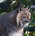 Lynx 2 (8148855224).jpg