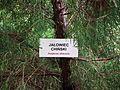 MOs810 WG 29 2017 Opolskie Zakamarki (in Arboretum Lipno) (Juniperus chinesis) (2).jpg