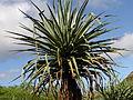 Macdougals Giant Century Plant - Furcraea macdougalii (3594547959).jpg
