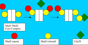 "Mad2 - Template Model: Mad2 already bound to Mad1 is the receptor for free Open Mad2. Open Mad2 binds Cdc20 and then dissociates and can ""breed"" further Closed Mad2:Cdc20 halt signals."