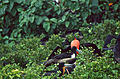 Magnificent Frigatebirds (Fregata magnificens) (21627248803).jpg