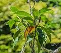 Magnolia doltsopa in Eastwoodhill Arboretum (1).jpg