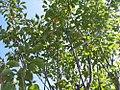 Magnolia virginiana Moonglow 4zz.jpg