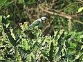 Malabar parakeet (Blue-winged parakeet) IMG 3493.jpg