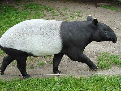 Malayan Tapir walking