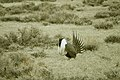 Male Greater Sage-Grouse (7094241359).jpg