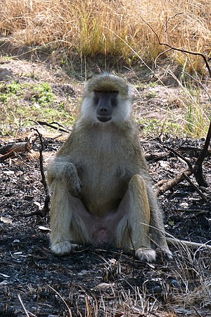 Kinda baboon - P. cynocephalus kindae in Kafue National Park, Zambia