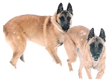 Two Belgian Malinois playing in snow in Ohio.