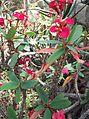 Malpighiales - Euphorbia milii var. splendens - kew 1.jpg