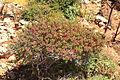 Malta - Ghajnsielem - Comino - Euphorbia melitensis 05 ies.jpg