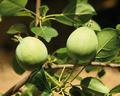 Malus-crescimannoi-fruits.png