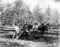 Man spraying flowering trees in orchard, Yakima Valley, ca 1910s (INDOCC 1380).jpg