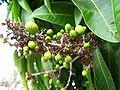 Mangofecundedflower.JPG