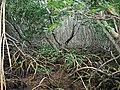 Mangroves (6902340995) (2).jpg