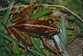 Mantellid Frog (Mantidactylus sp.) (9644978683).jpg