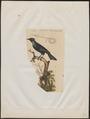 Manucodia keraudreni - 1833-1839 - Print - Iconographia Zoologica - Special Collections University of Amsterdam - UBA01 IZ15800009.tif