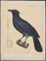 Manucodia keraudreni - 1841-1852 - Print - Iconographia Zoologica - Special Collections University of Amsterdam - UBA01 IZ15800011.tif