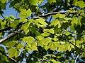 Maple (48192940992).jpg