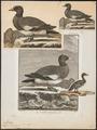 Mareca penelope - 1700-1880 - Print - Iconographia Zoologica - Special Collections University of Amsterdam - UBA01 IZ17600327.tif