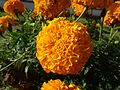 Marigold FLOWER.jpg