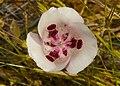 Mariposa Lily (Calochortus argillosus).jpg