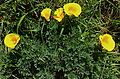 Maritime poppies, Fiscalini preserve CA.jpg
