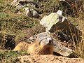 Marmota marmota (Parc National des Écrins).jpg