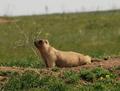 Marmotte-bobak.png