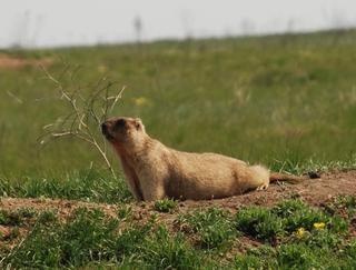 Bobak marmot Species of rodent