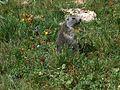 Marmottes en Vanoise (22).JPG