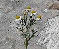 Matricaria chamomilla flower (27).jpg