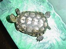地中海石龟