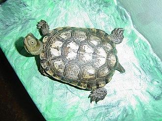 Spanish pond turtle - Juvenile