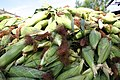 Mazorca de maíz La Mochila.jpg
