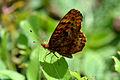 Meadow Fritillary (Boloria bellona) (14395711169).jpg