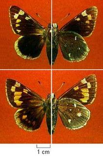 <i>Megathymus streckeri</i> species of insect