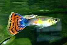 poissons d aquarium wikip 233 dia