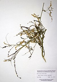 Melilotus albus BW-1979-0914-0386.jpg