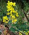 Melilotus altissima.jpg