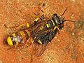 Mellinus arvensis wasp with prey (9741197357).jpg