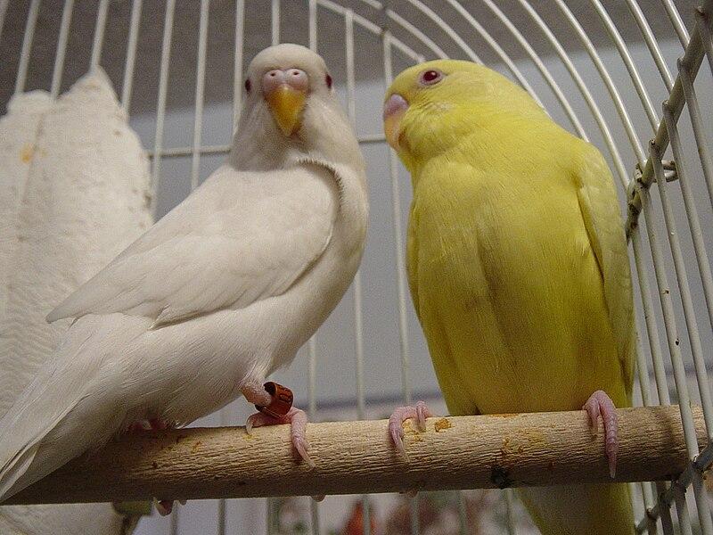 File:Melopsittacus undulatus - albino and lutino.jpg