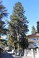 Meran Pinus Ponderosa NDM 050 G24.jpg