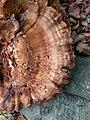 Meripilus giganteus 100267005.jpg