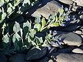 Mertensia maritima 4.jpg