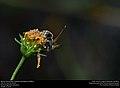 Mexican Honey Wasp (Vespidae, Brachygastra mellifica) (31242246115).jpg