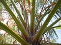 Mexican fan palm crown (3139216079).jpg