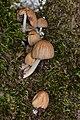 Mica Cap (Coprinellus micaceus) - Gatineau Park 02.jpg