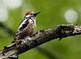 Middle-Spotted Woodpecker (Dendrocopus medius), Forêt de Soignes, Brussels (34634092095).jpg