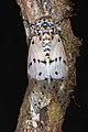 Milky Cicada (Ayuthia spectabile) (8745118020).jpg